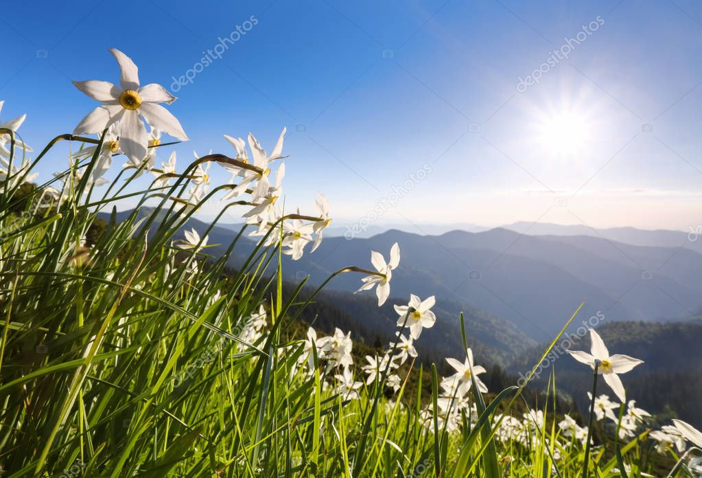 Grass with daffodils. Blue sky. Landscape with high mountains. Forest road. Eco resort, relax for tourists. Location the Carpathian Mountains, Ukraine, Europe, Marmarosy.