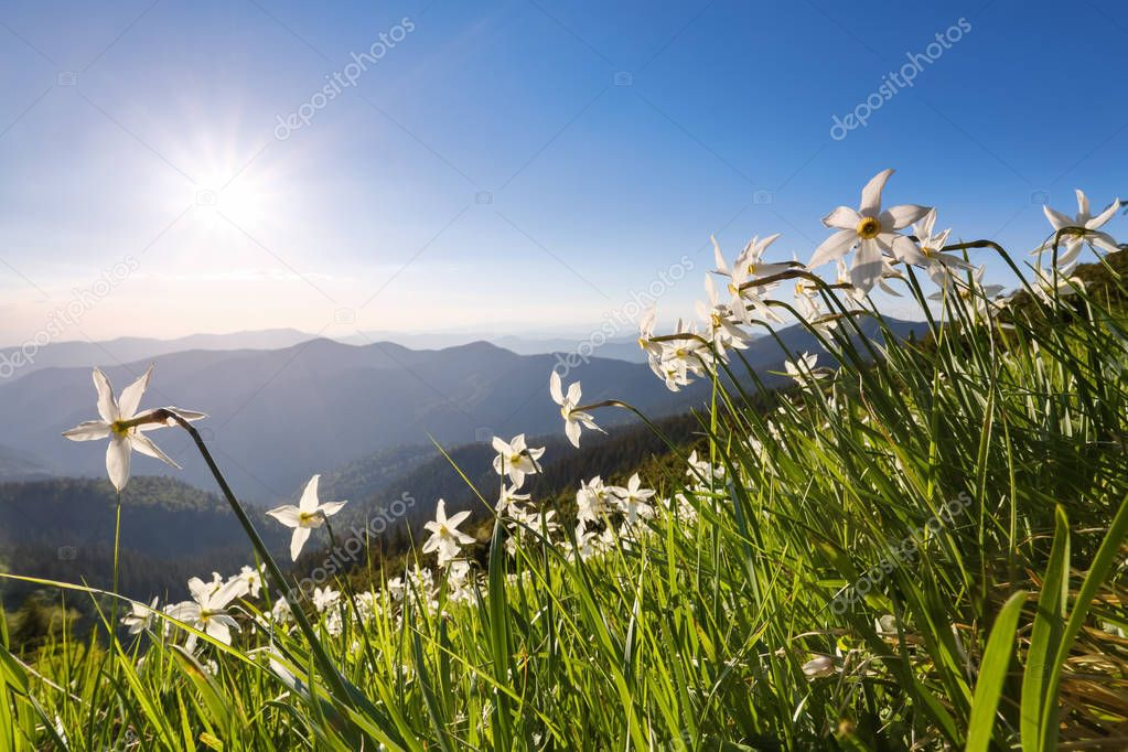 Landscape with beautiful daffodil flowers. High mountains in haze. Place of resort for Tourists. Location the Carpathian Mountains, Ukraine, Europe, Marmarosy.