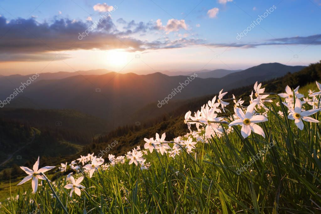 Landscape with beautiful daffodils in the green grass. The rays of the sun poke through the white clouds. High mountains in haze on the horizon.
