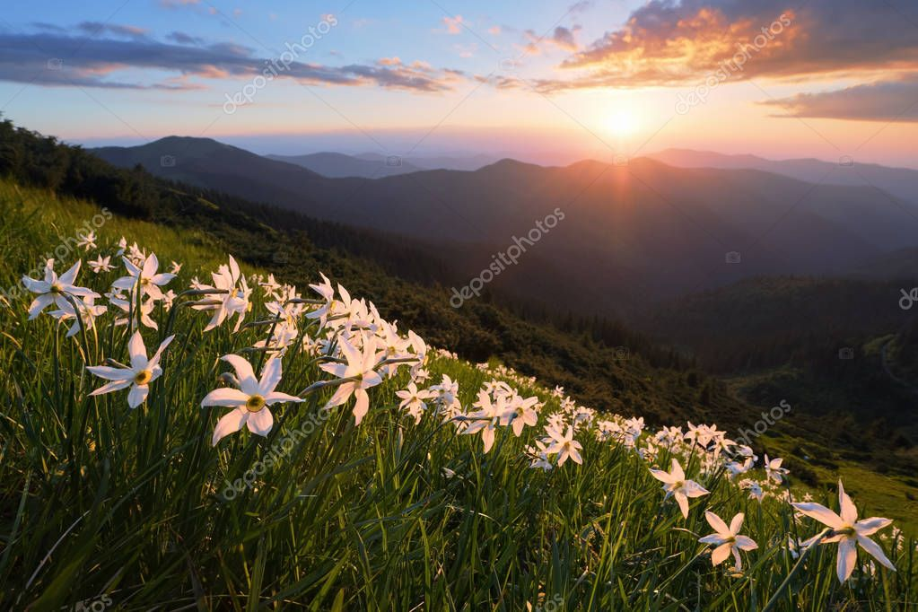 Landscape with beautiful daffodil flowers. The sunset with rays illuminates the horizon. Sky with clouds. High mountains in haze. Place of resort for Tourists.