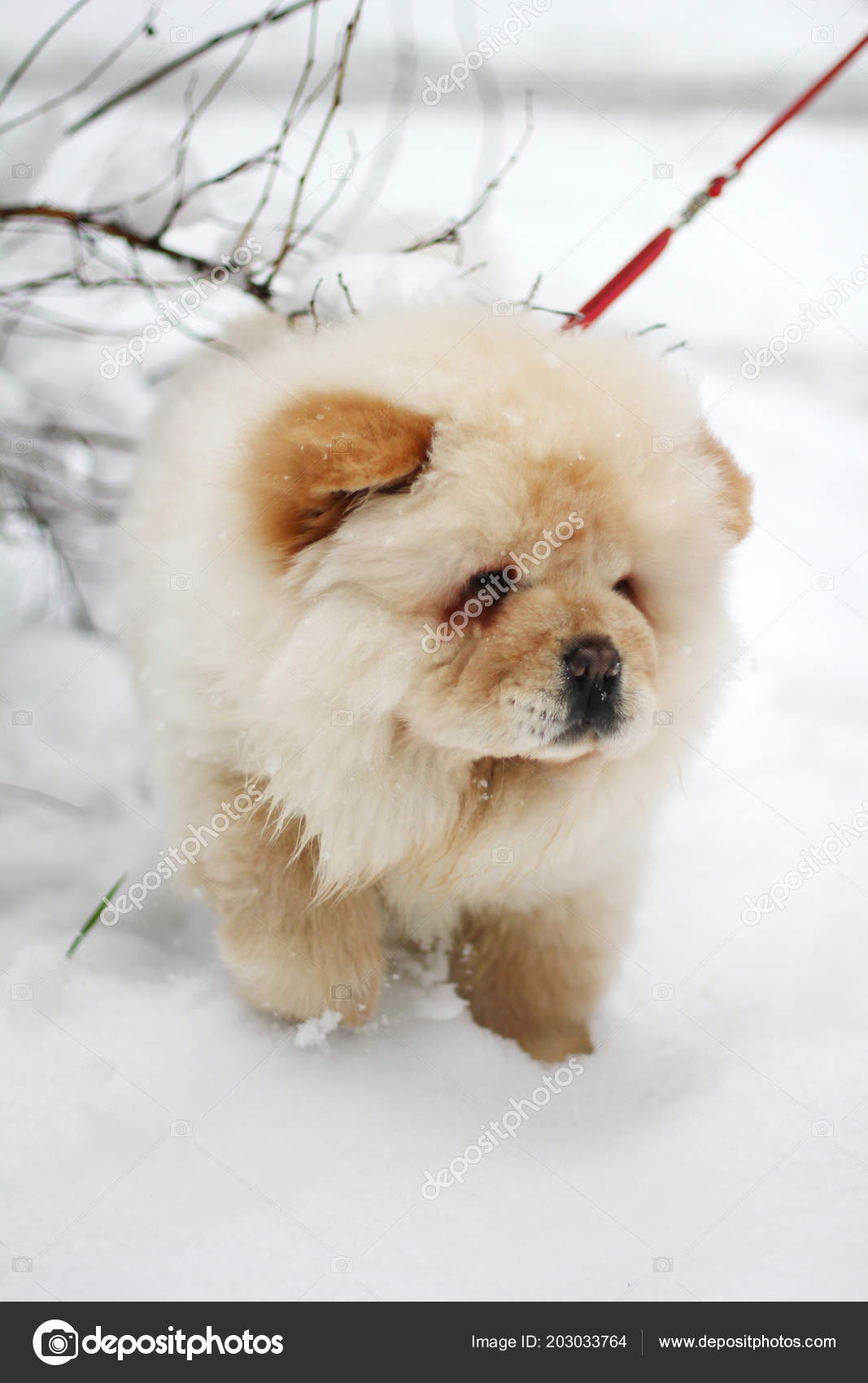 White Chow Chow Puppy Stock Photo C Shok Design 203033764