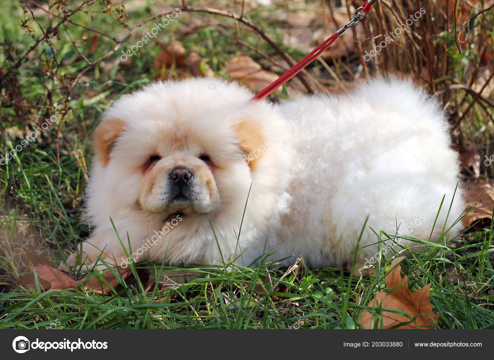 White Chow Chow Puppy Stock Photo C Shok Design 203033880