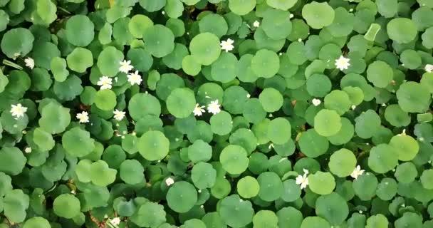 Stunning aerial drone stock footage of flowering lotuses on the lake near the road in Krasnodar Krai of Russia.
