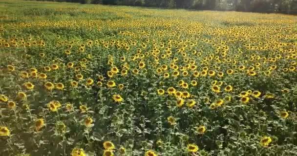 Letět nad feld slunečnice. Letecký pohled na slunečnicového pole, zobrazení květu slunečnice