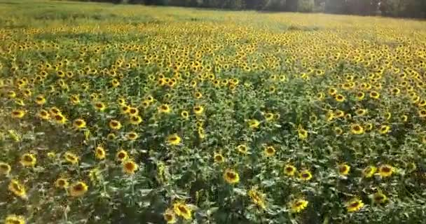 Letět nad feld slunečnice. Letecký pohled na slunečnicového pole, zobrazení květu slunečnice.