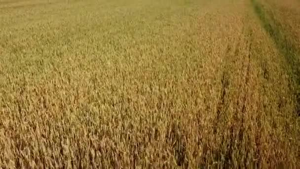Barley field and sunny day, beautiful nature landscape. Rural scenery under shining sunlight.