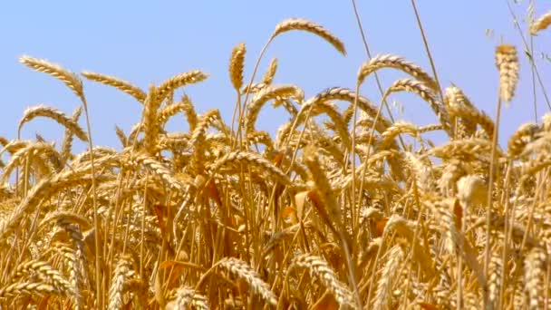 Close up of yellow barley plants in a wheat field