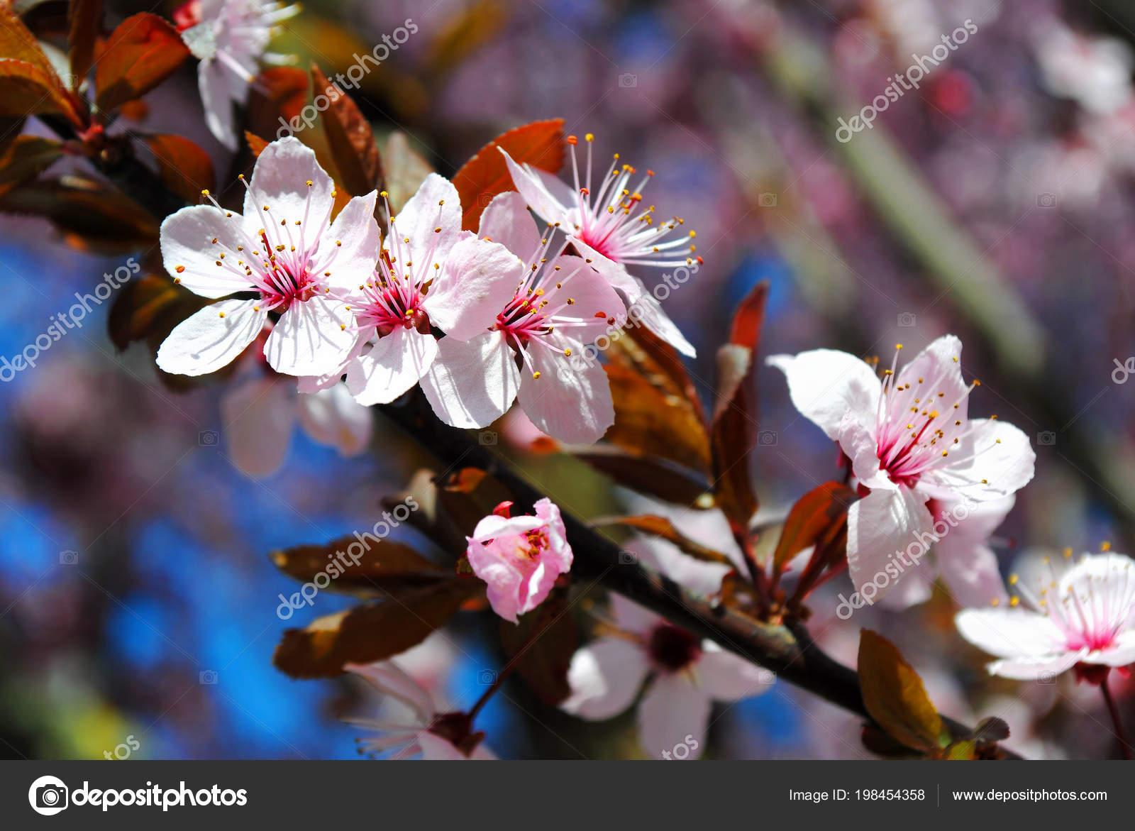Sakura Cerezos Flor Plena Floración Rosa Flores Cerezo Una Rama