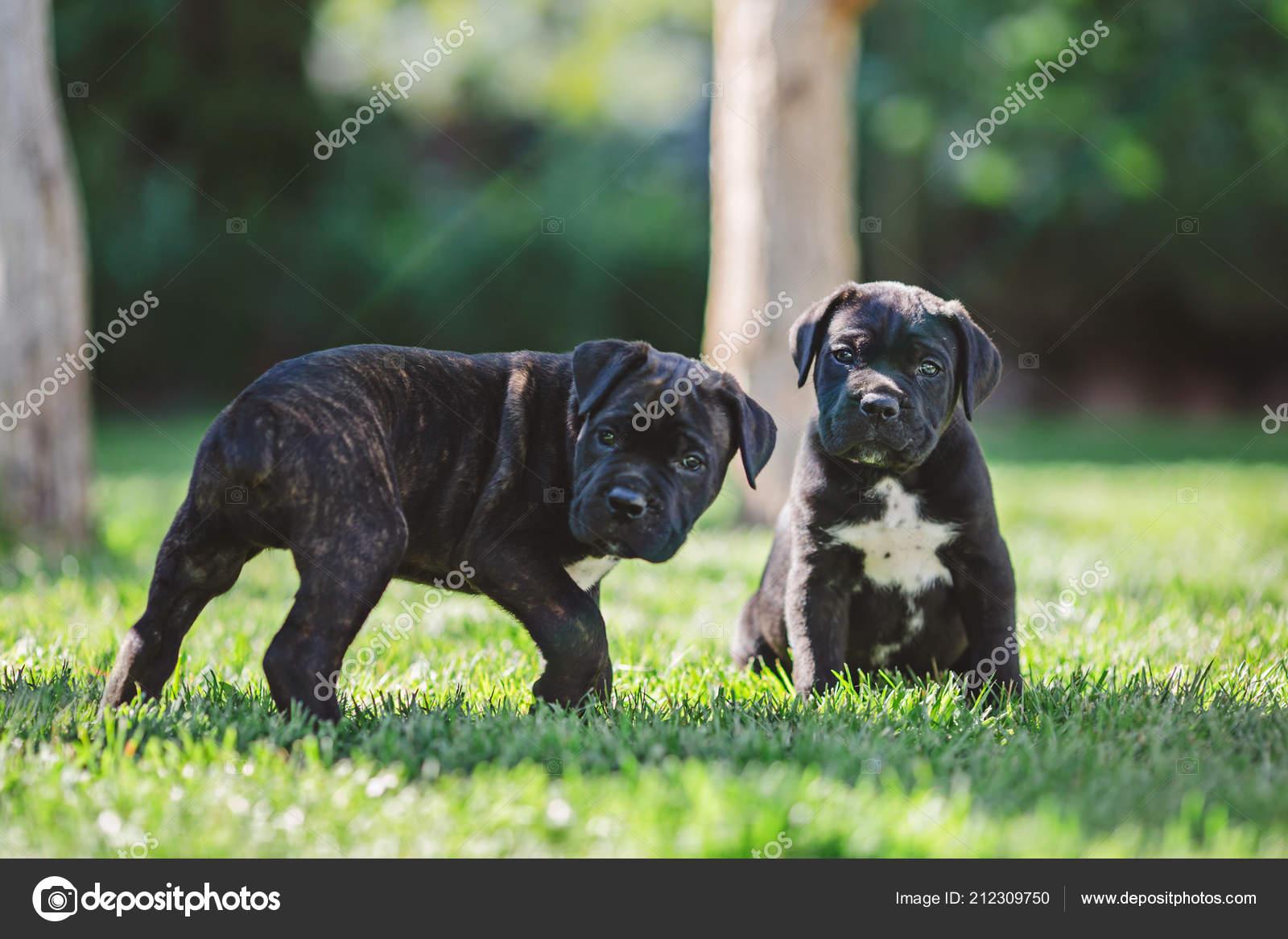 Cute Little Puppies Grass Stock Photo Olenakosynska 212309750