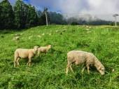 Fotografie ovce na pastvě v krásné hoře Alp
