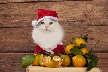 cat dressed as Santa Claus sells tangerines