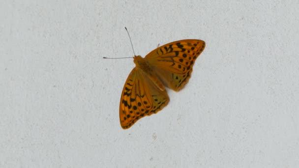 Egy fehér háttér, integetett a szárnyait pillangó