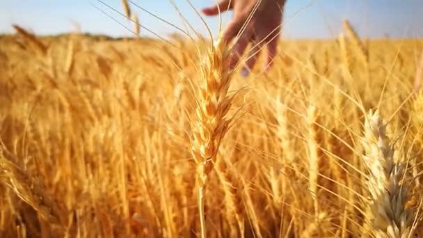 woman walks along the wheaten golden field, touches the spikes  hand
