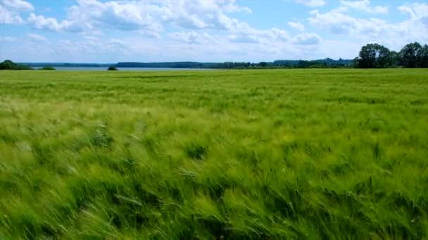 Pšeničné pole s houpajícími se ušima ve větru