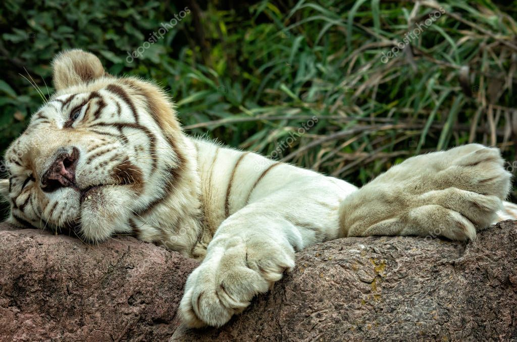 white tiger or Bengal tiger sleeping on the rock.