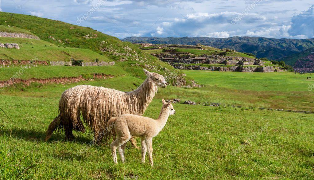 llamas in ancient city Sacsayhuaman, Inca ruins in Cusco, Peru
