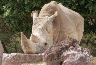 White rhinoceros or square-lipped rhinoceros at zoo