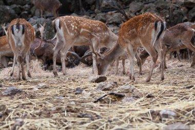 Herd of roe eats food in nature park. Spain.