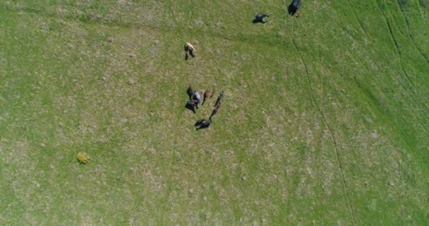 Letecká Uhd 4k letu nad divokou pobyt stáda koně na louce. Létání nad přírodou hory divoké léto. Krásná zvířata na farmě slunné venkovské zelené trávy. Koncept svobody ekologie