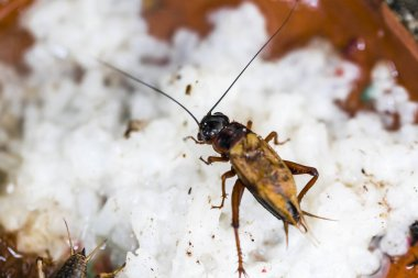 Closeup of cricket in the hiding place