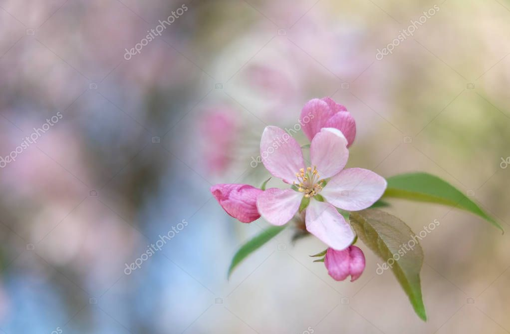 Spring blossoming tree with pink flowers, close up