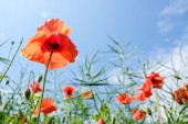 beautiful poppies flowers in green field against blue sky background