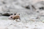 Fotografia frog in the sand,close up