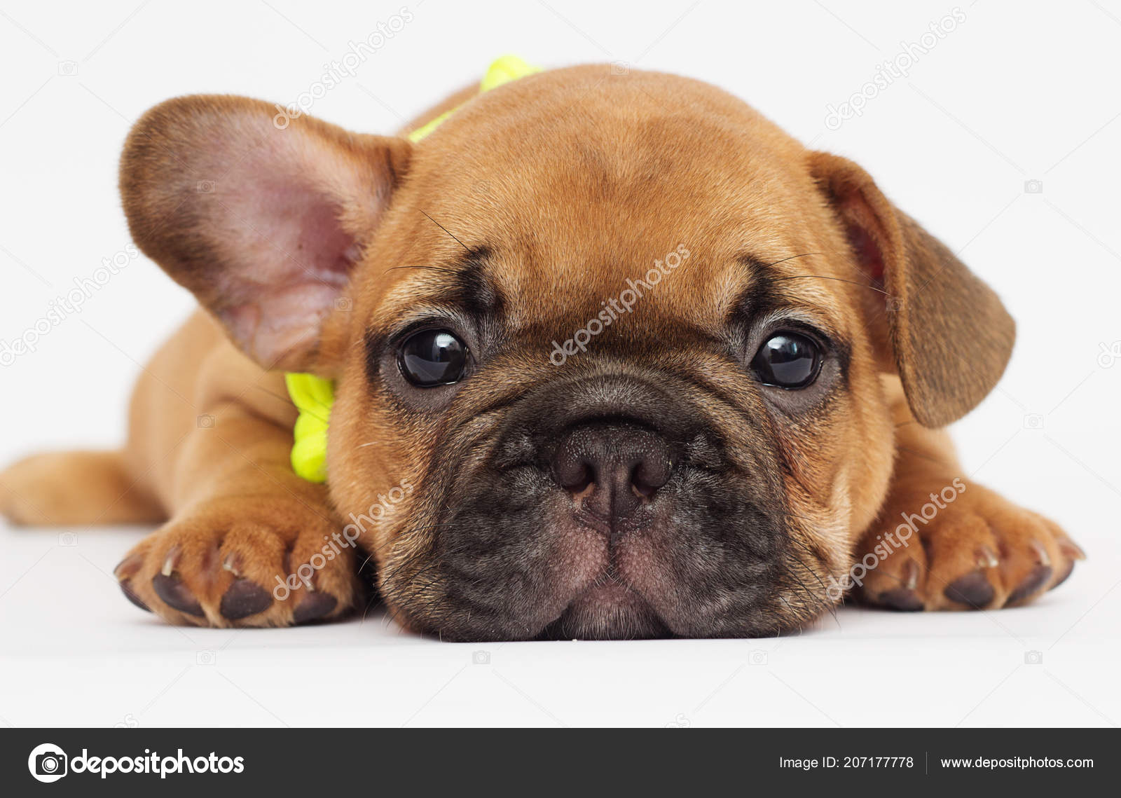 Cute Puppy French Bulldog Looking White Background Stock Photo
