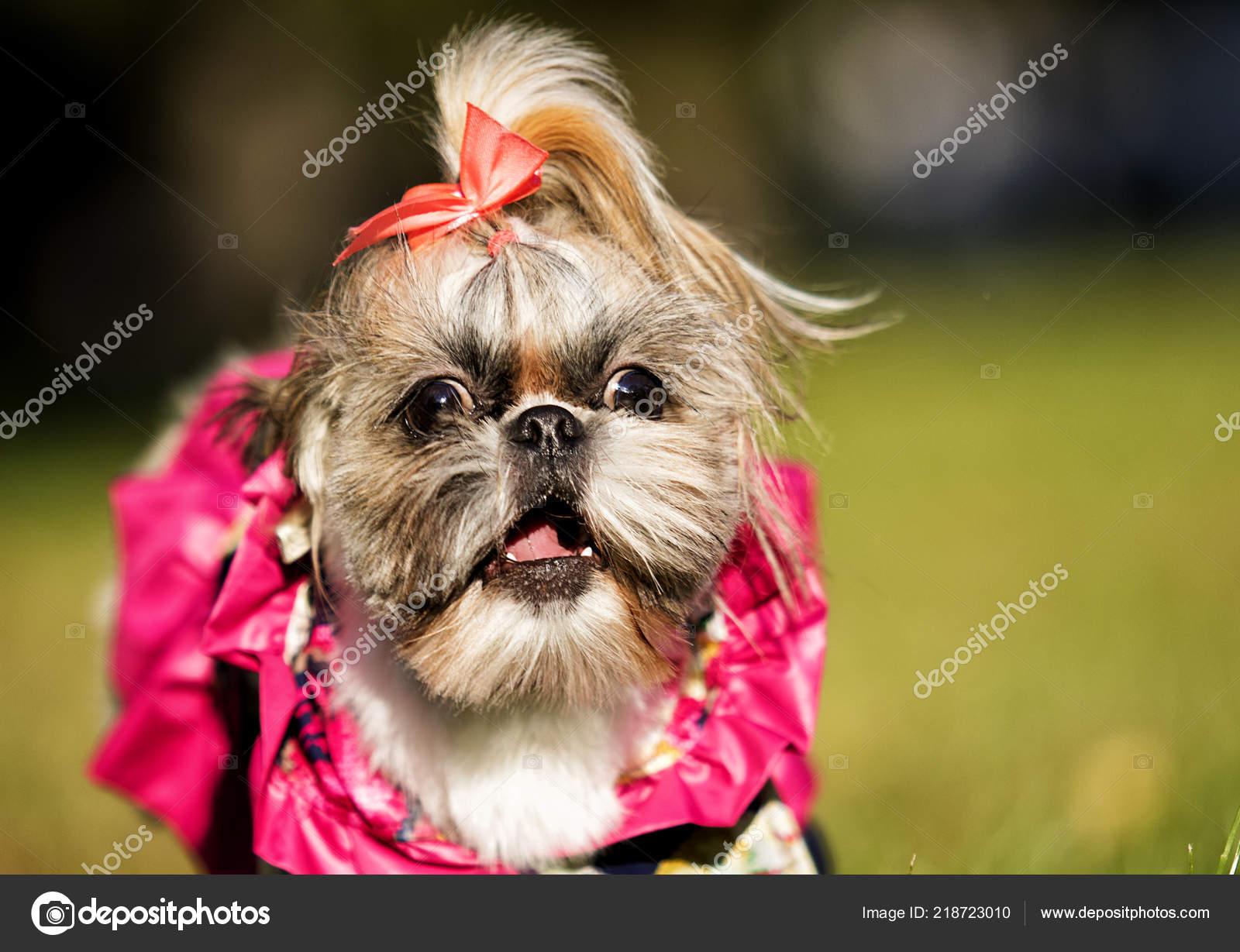Shih Tzu Dog Runs Clothes Stock Photo C Gurinaleksandr 218723010