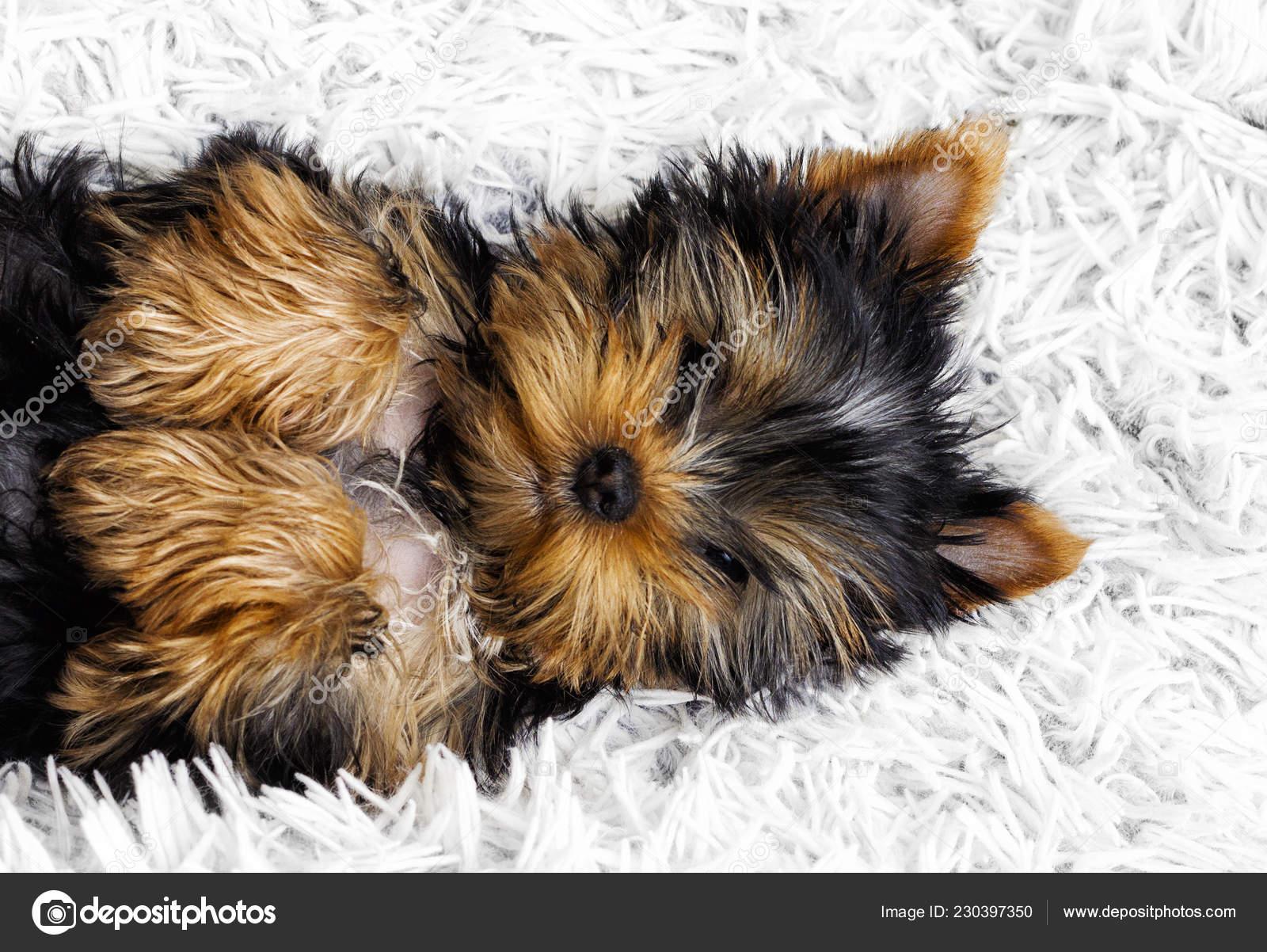 Cute Puppy Fluffy Blanket Stock Photo C Gurinaleksandr 230397350