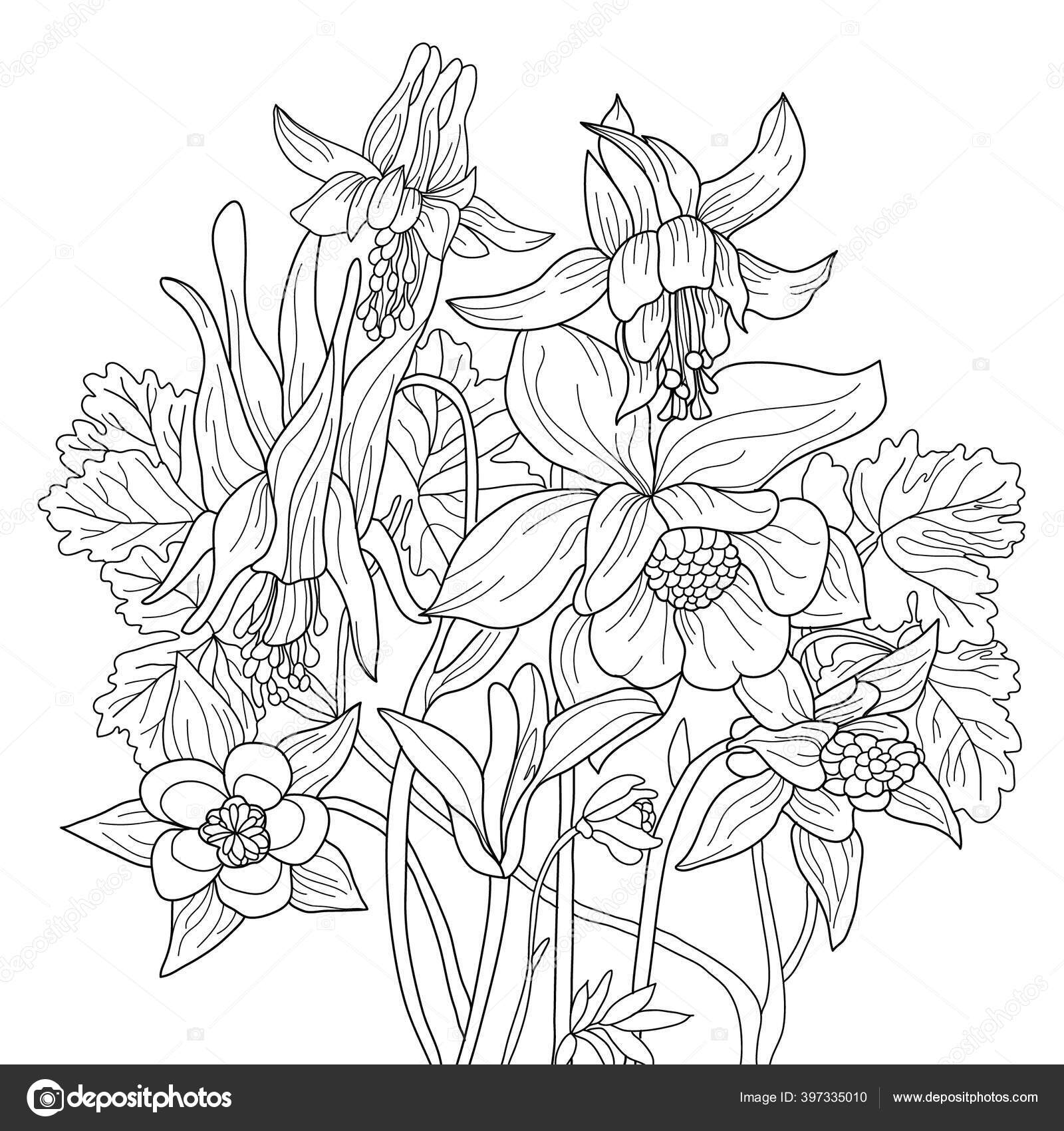 Vector Coloring Botanical Illustration Columbine Flowers Colouring Page Floral Print Stock Photo C Suriko 397335010