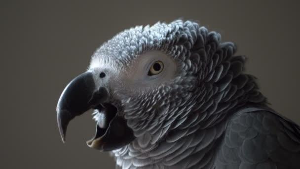 Papoušek šedý, zblizka