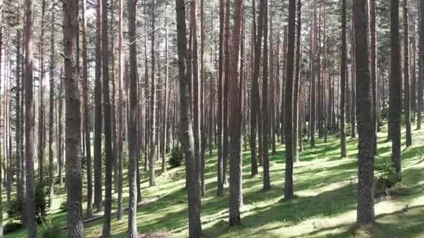 Kiefernwald im Rodopi-Gebirge in Bulgarien