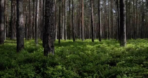 Časová prodleva slunečního světla a stínu přes kmeny stromů v lese s jasně zeleným podrostem