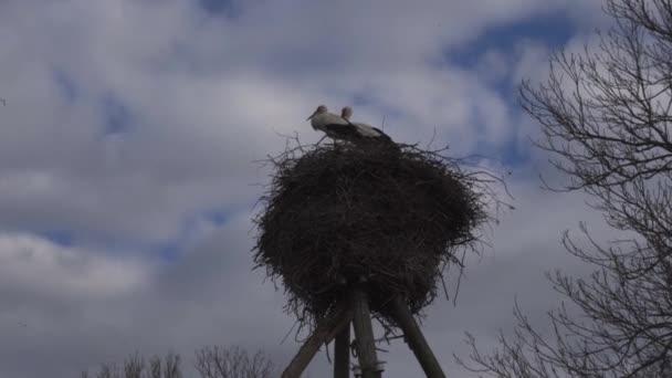 Gólya visszatérve a fészket, tavasszal. Nagy Vonuló madár tollazata fekete és fehér. Fehér gólya és a felhős ég fióka. Gólya család. Stick gólya fészek electrci pole. Egy aranyos madár.