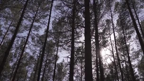 Borovice baltská východní Evropa s vysokými starými stálezelenými stromy směřujícími vzhůru na oblohu během jasného slunného dne s paprsky světla přicházejících skrz