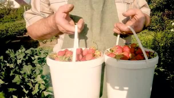 starší farmář 60 let s jahodami v kbelících. Koncept přirozeného, zdravého jídla. Práce na zahradě. Práce na částečný úvazek důchodců v zemědělství. obchod. Detailní záběr