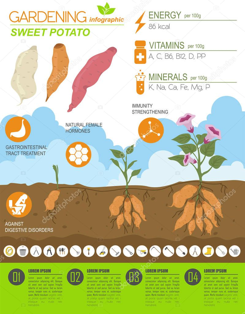 Sweet potato beneficial features graphic template. Gardening, farming infographic, how it grows. Flat style design. Vector illustration