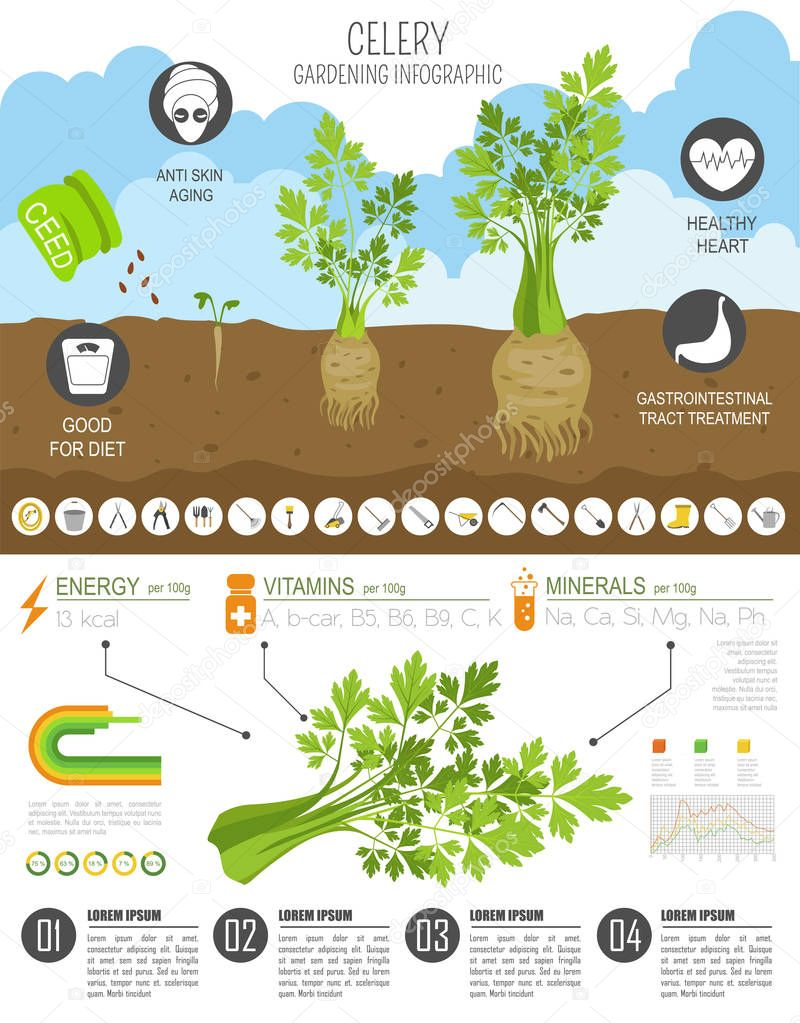 Celery beneficial features graphic template. Gardening, farming infographic, how it grows. Flat style design. Vector illustration