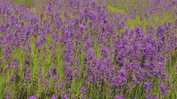 Lavender flower. Purple flowers. Provence. Lavender plants. Aromatherapy.