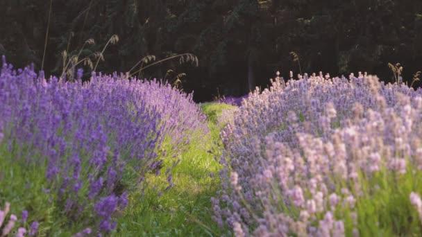 Levandulová květina. Fialové květiny. Provence. Aromaterapie.