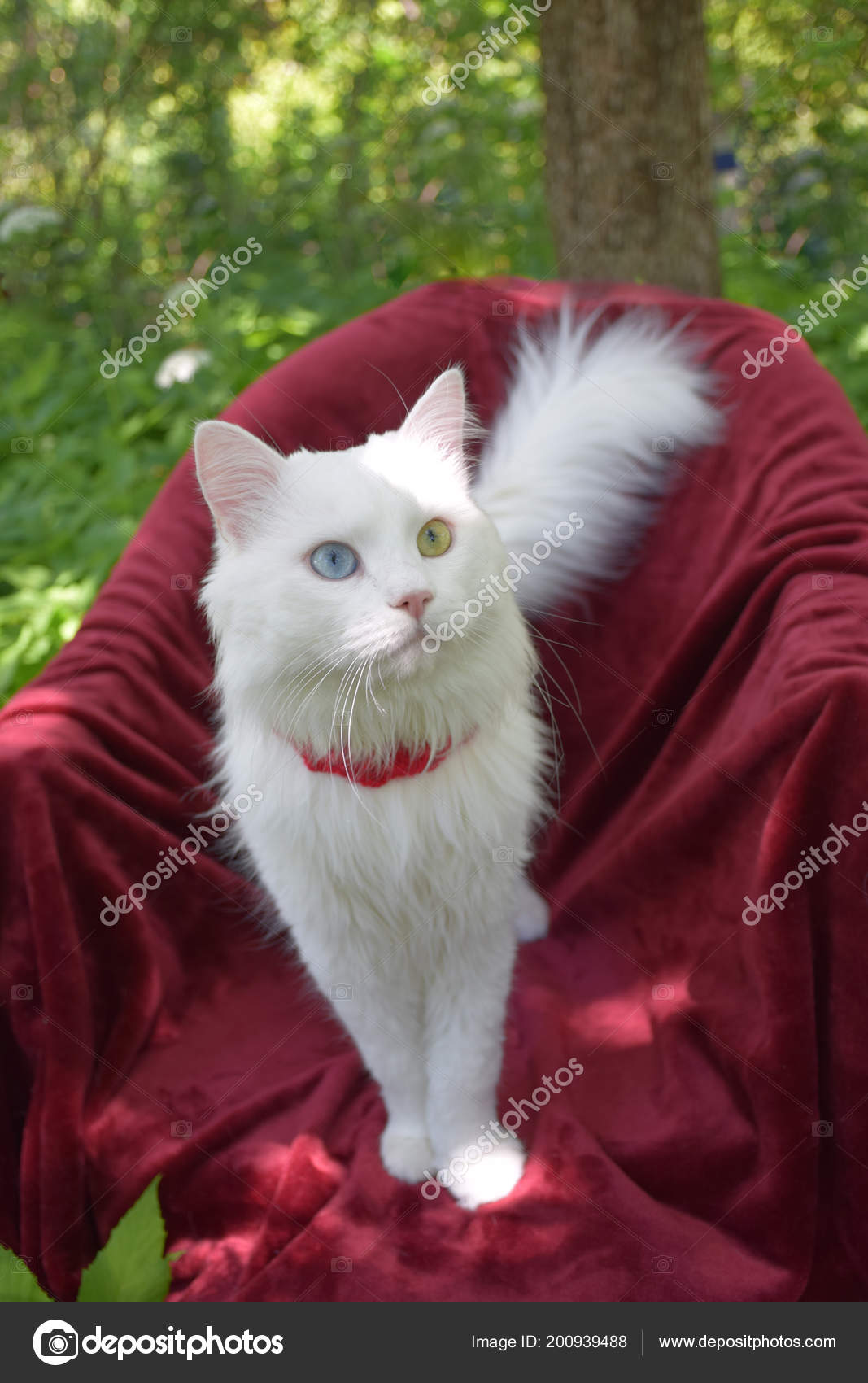 Angora Cat Garden Red Mat Russia Moscow June 2018 Stock Photo