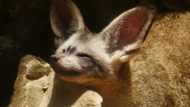 Close up on bat-eared fox.