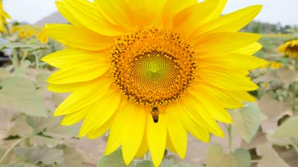closeup včela na slunečnice