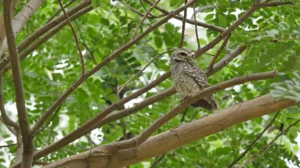 Gefleckte Owlet am Baum