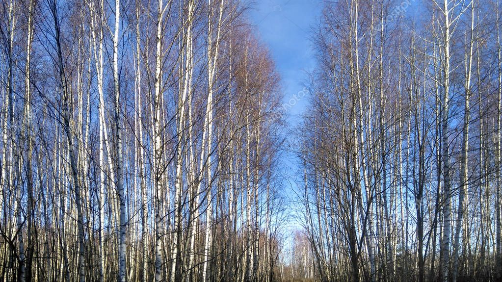 Young birches in a field in late autumn against a blue clear sky.