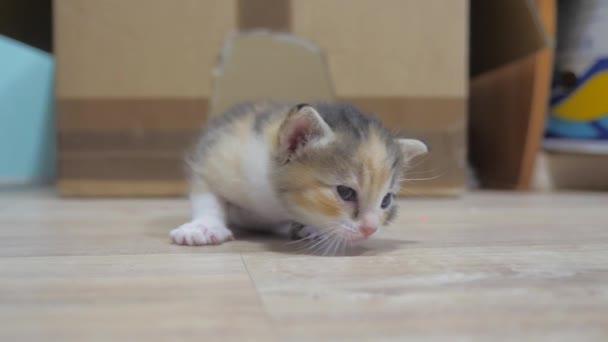 a kis cica az első lépéseket veszi körül a szobában. tricolor aranyos kiscica életmód. macska koncepció kisállat