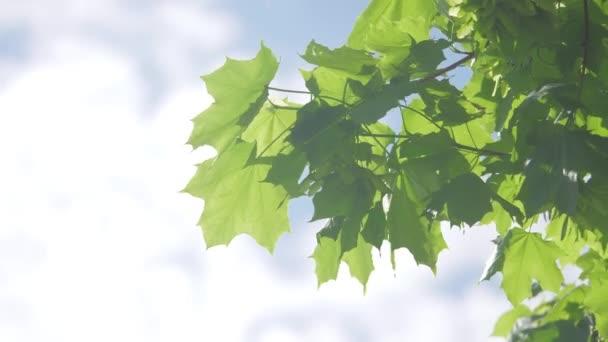 Větev javoru v jarním období. Čerstvé zelené listy na větvi s denním světlem životní styl. přírodní koncept