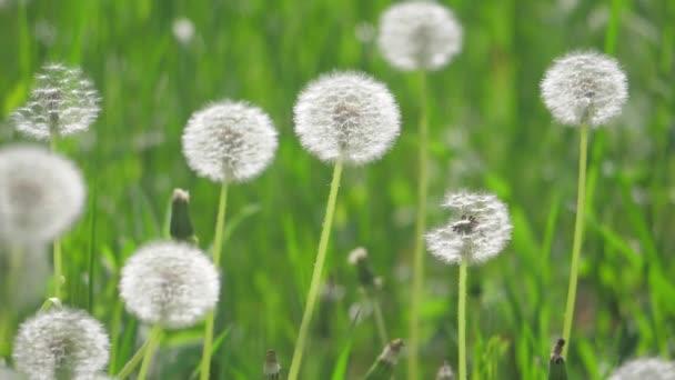Bílé nadýchané pampelišky, přirozené pole zpomalené video pampelišky zelená jarní rozmazané pozadí, selektivní fokus. životní styl pojetí přírody