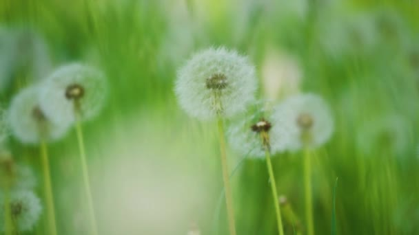 Bílé nadýchané pampelišky, přirozené pole pampelišky zpomalené video zelená jarní rozmazané pozadí, selektivní fokus. životní styl koncepce přírody